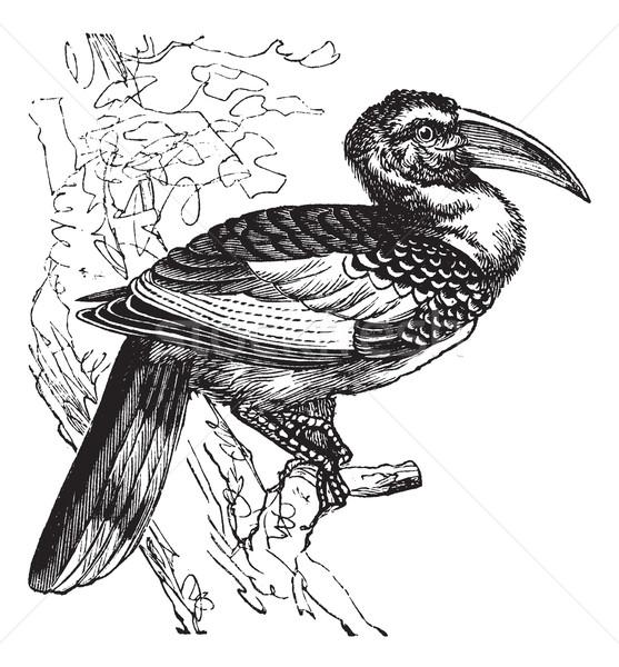Red-billed Hornbill or Tockus erythrorhynchus, bird, vintage eng Stock photo © Morphart