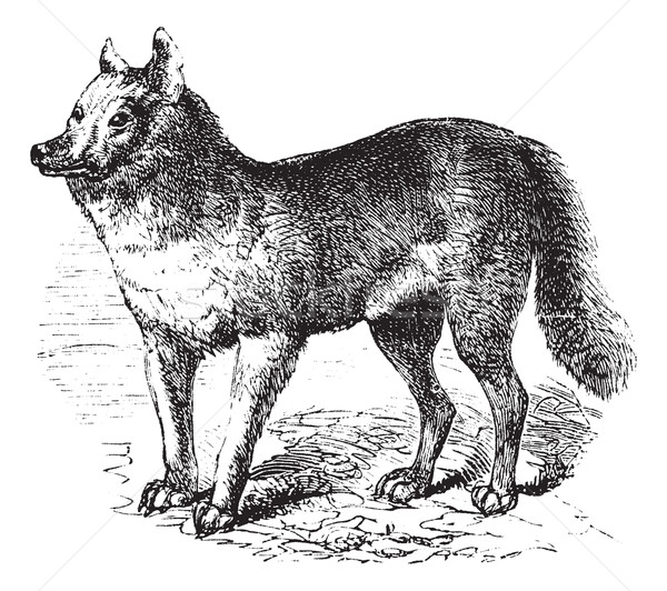 Dingo vintage engraving Stock photo © Morphart