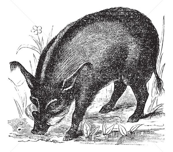 Warthog or Wart-hog or African Lens-Pig or Phacochoerus africanu Stock photo © Morphart