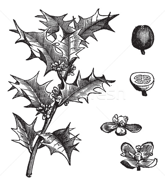 Holly or Ilex aquifolium vintage engraving Stock photo © Morphart