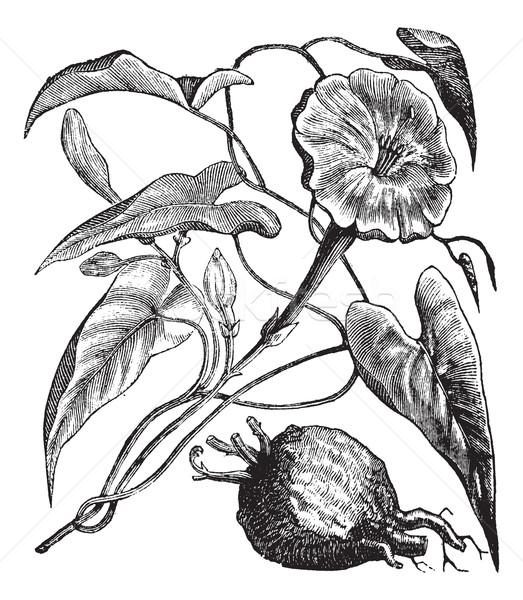 Exogonium purga or  Ipomoea jalapa vintage engraving Stock photo © Morphart