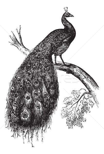 Indian Peafowl or Blue Peafowl or Pavo cristatus, vintage engrav Stock photo © Morphart