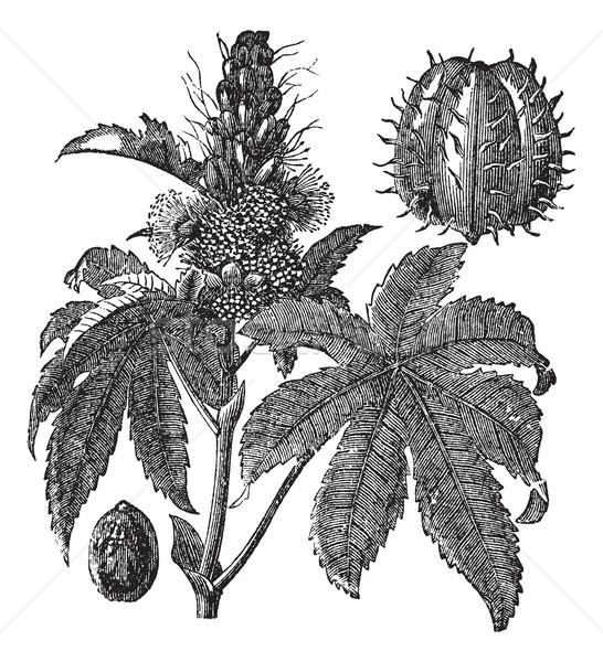 Castor oil plant or Ricinus communis vintage engraving Stock photo © Morphart