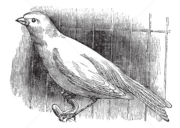Ordinary canary, vintage engraving. Stock photo © Morphart