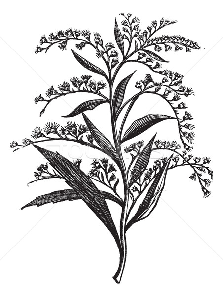 Canada goldenrod or Solidago canadensis vintage engraving Stock photo © Morphart