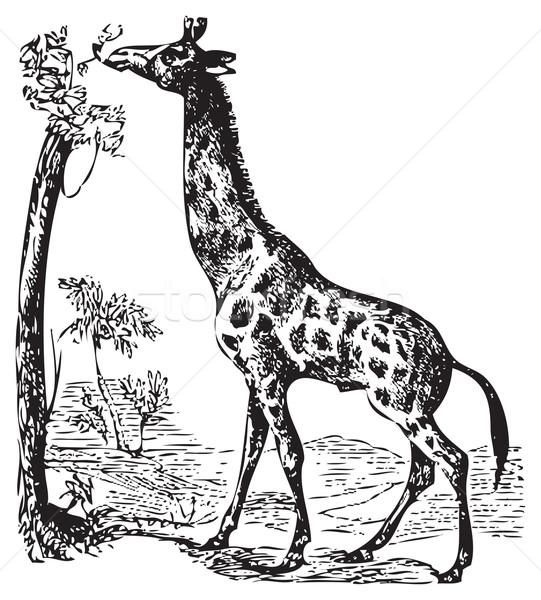 An old giraffe engraving illustration Stock photo © Morphart