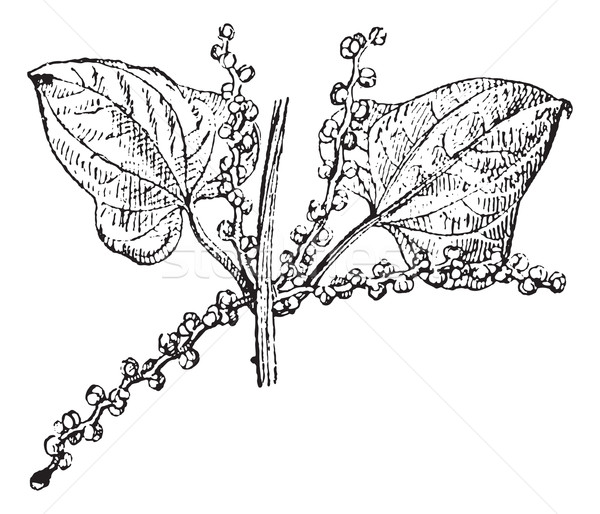 Chinese yam male flower vintage engraving Stock photo © Morphart