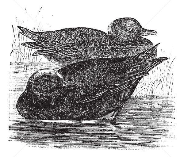 Wigeon  or Anas americana vintage engraving Stock photo © Morphart