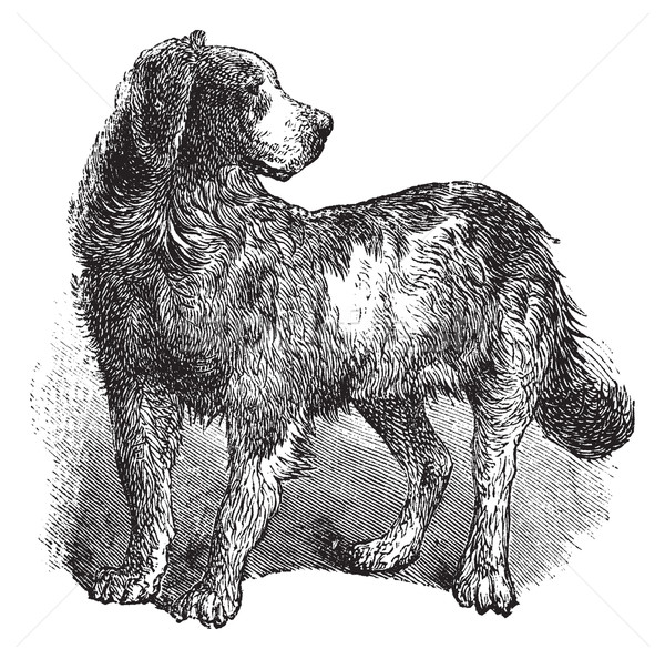 Newfoundland or Canis lupus familiaris vintage engraving Stock photo © Morphart