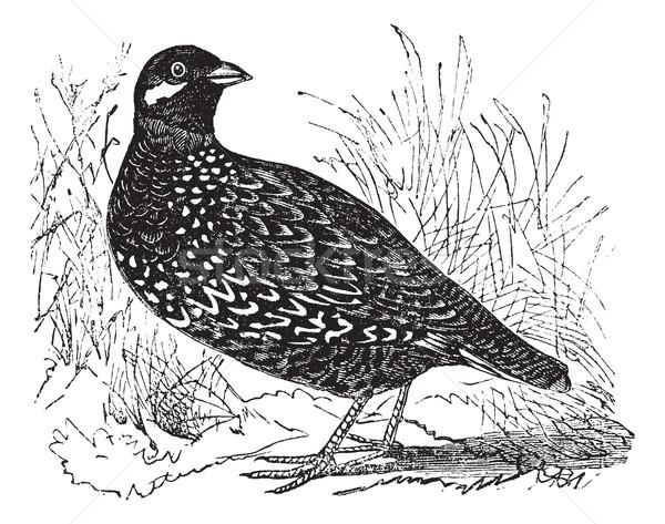 Black Francolin or  Francolinus francolinus, gamebird, vintage e Stock photo © Morphart