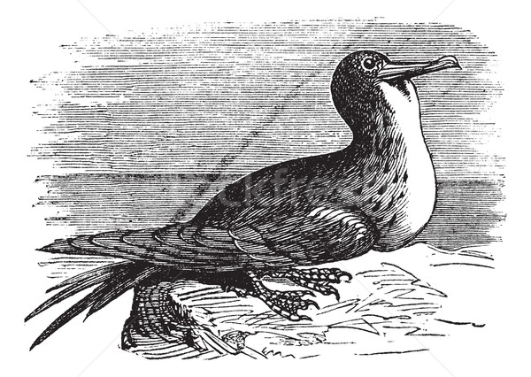 Great Frigatebird or Fregata minor  vintage engraving Stock photo © Morphart