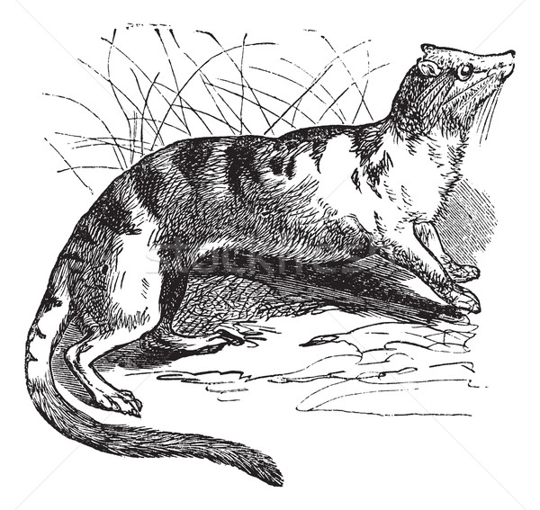 Banded Palm Civet (Hemigalus derbyanus) vintage engraving Stock photo © Morphart