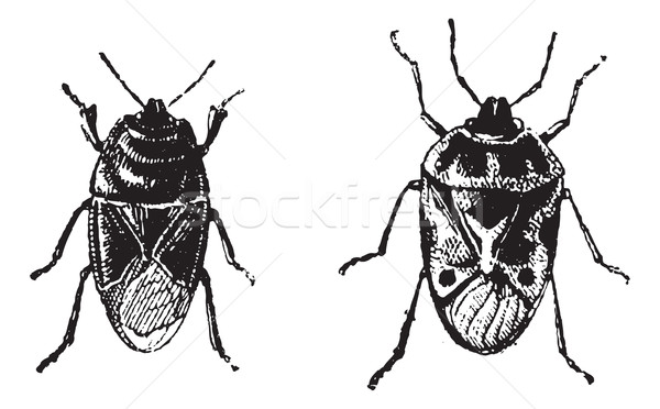 Nero bug vintage inciso illustrazione Foto d'archivio © Morphart
