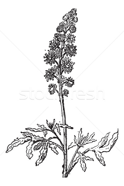 Stock photo: Reseda or Mignonette, vintage engraving.
