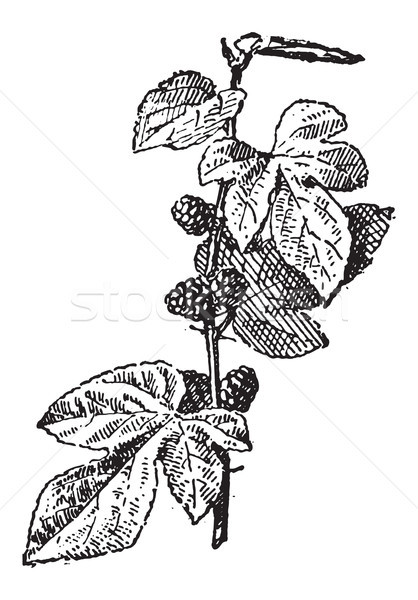 Mulberry or Morus sp., vintage engraving Stock photo © Morphart