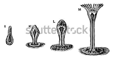 Gynoecium or Pistil, vintage engraving. Stock photo © Morphart