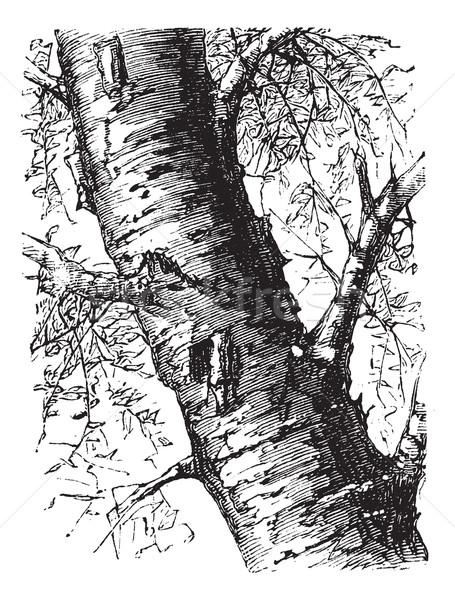 White Birch or Betula papyrifera, tree, trunk, vintage engraving Stock photo © Morphart