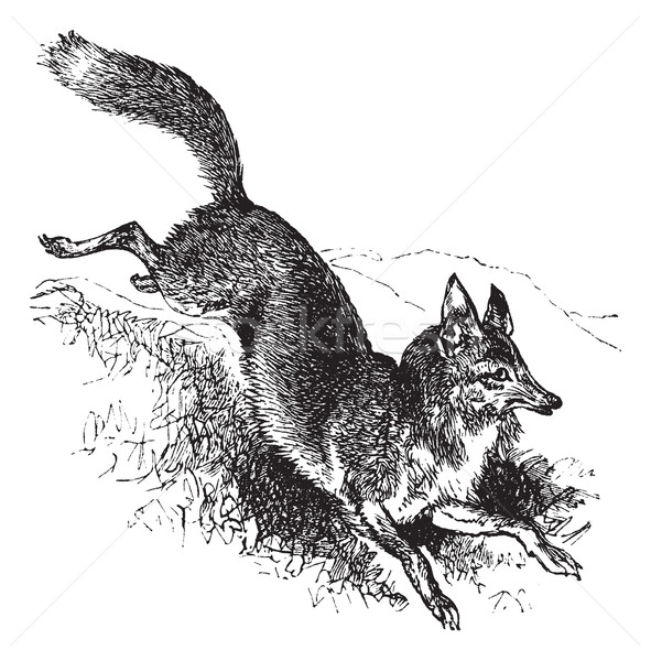 Golden jackal or Canis aureus vintage engraving Stock photo © Morphart