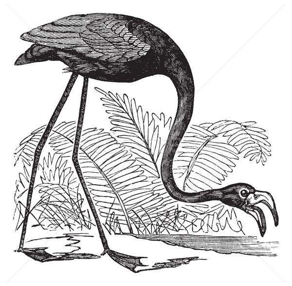 Common Flamingo or Phoenicopterus sp. or Phoenicoparrus sp., vin Stock photo © Morphart