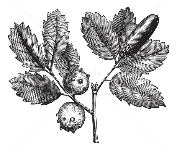 Quercus lusitanica or Gall Oak vintage engraving Stock photo © Morphart