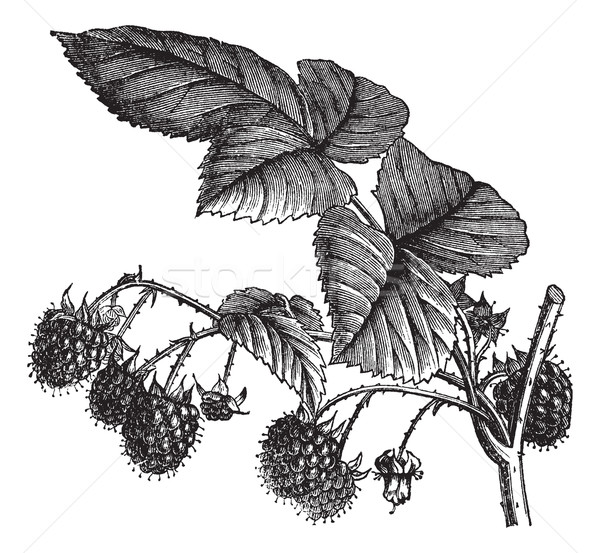 Red Raspberry or Rubus idaeus vintage engraving Stock photo © Morphart