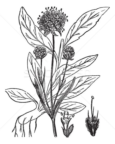 Vintage gravado ilustração enciclopédia flor Foto stock © Morphart