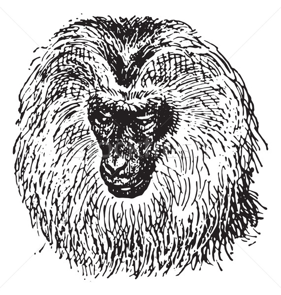 Lion-tailed macaque or Macaca silenus, vintage engraving. Stock photo © Morphart