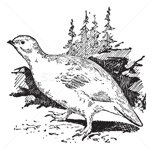 Ptarmigan bird, vintage engraving. Stock photo © Morphart