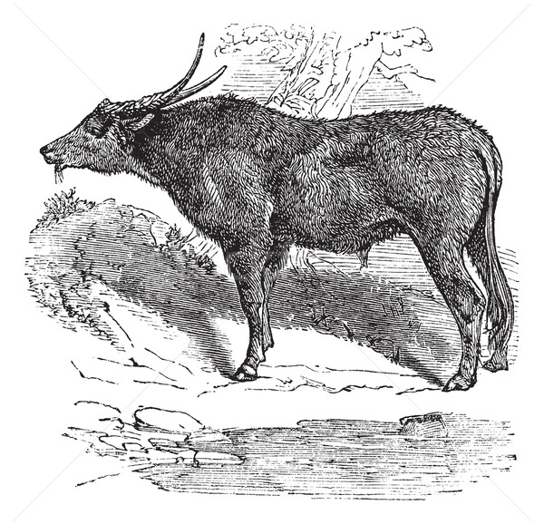Water buffalo or Bubalus bubalis, buffalo, Indian, vintage engra Stock photo © Morphart