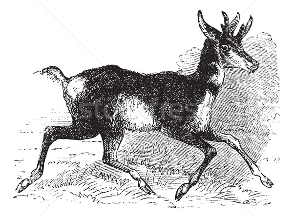 Antilocapra americana or pronghorn vintage engraving. Stock photo © Morphart