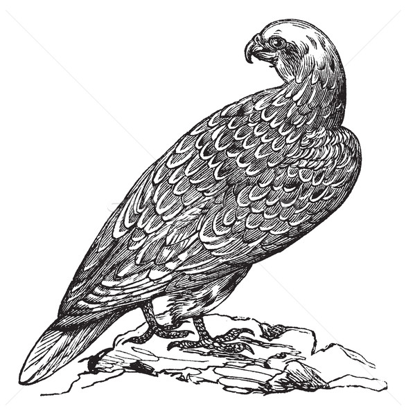 Gyrfalcon or Falco rusticolus in Norway vintage engraving Stock photo © Morphart