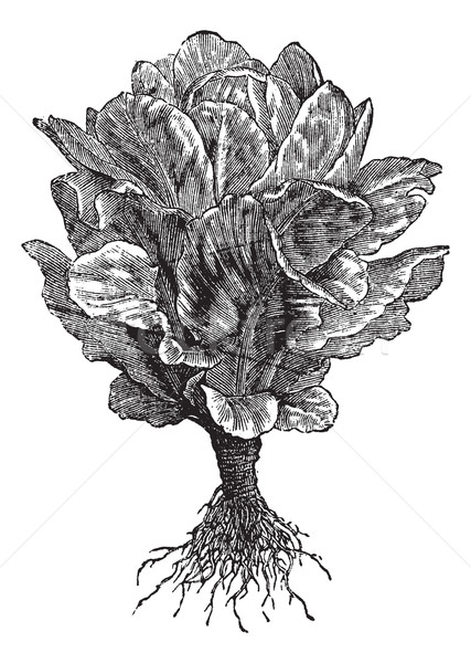 Romaine or Cos lettuce (Lactuca sativa) vintage engraving Stock photo © Morphart