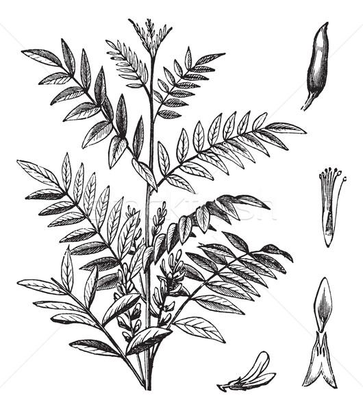 Liquorice or Glycyrrhiza glabra vintage engraving Stock photo © Morphart