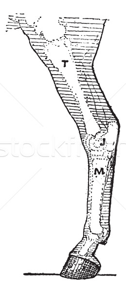 Horse leg, vintage engraving. Stock photo © Morphart