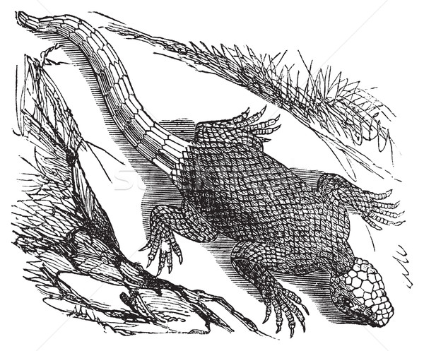 West african spinous lizard or Agama colonorum engraving. Stock photo © Morphart