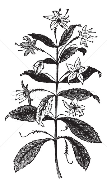 Agathosma crenulata or Barosma crenulata, plant, leaves, vintage Stock photo © Morphart