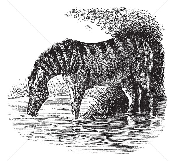 Donkey or Equus asinus vintage engraving Stock photo © Morphart