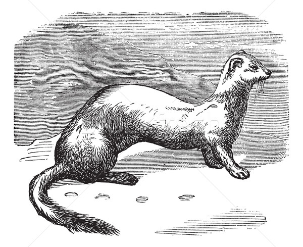 Stoat (Mustela erminea) or Ermine in winter pelt vintage engravi Stock photo © Morphart