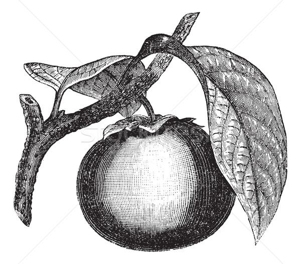 Japans persimmon vintage gegraveerd illustratie Stockfoto © Morphart