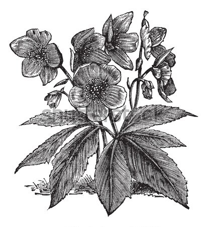 Rhododendron, vintage engraving. Stock photo © Morphart