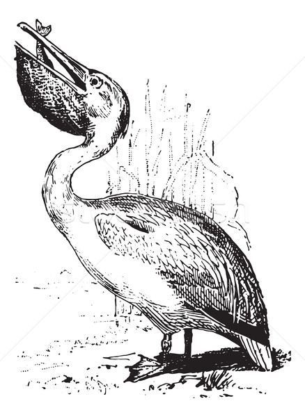Pelican, vintage engraving. Stock photo © Morphart