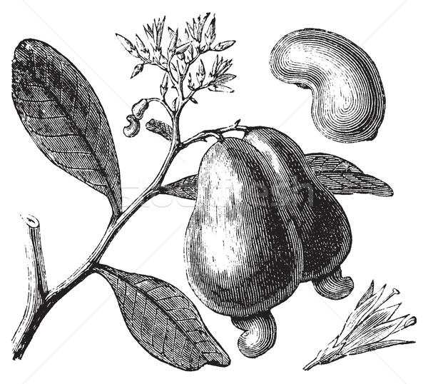 Kesudió fa alma diók klasszikus vésés Stock fotó © Morphart