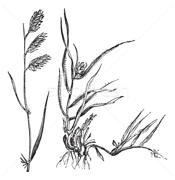 Bouteloua dactyloides or Buffalograss, grass, (left) male, (righ Stock photo © Morphart