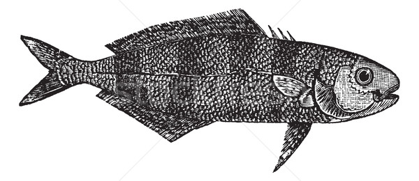 Naucrates Ductor or Pilot fish vintage engraving Stock photo © Morphart