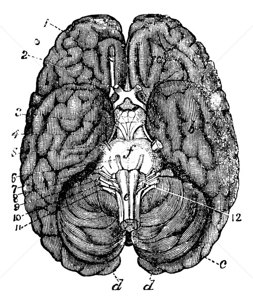 Human brain vintage engraving Stock photo © Morphart