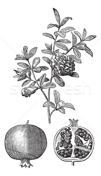 Granaatappel verdubbelen bloemen vruchten vintage Stockfoto © Morphart