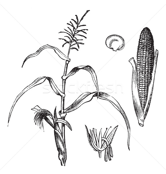 Corn, Maize or Zea mays, vintage engraving. Stock photo © Morphart