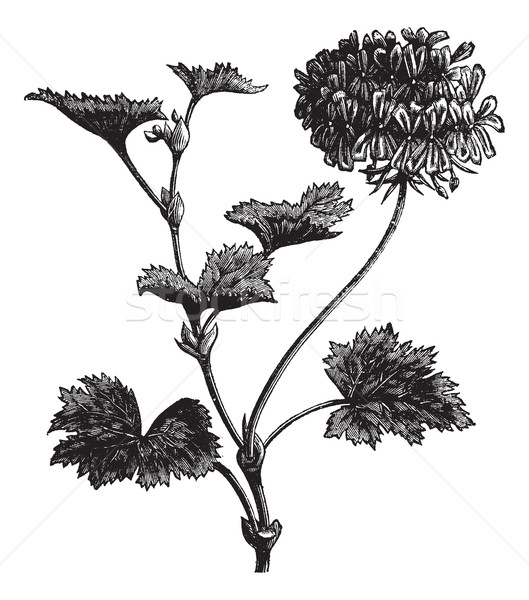Geranium or Storksbill or Pelargonium zonale, vintage engraving Stock photo © Morphart