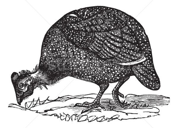 Common guinea fowl (Numida meleagris), vintage engraving. Stock photo © Morphart
