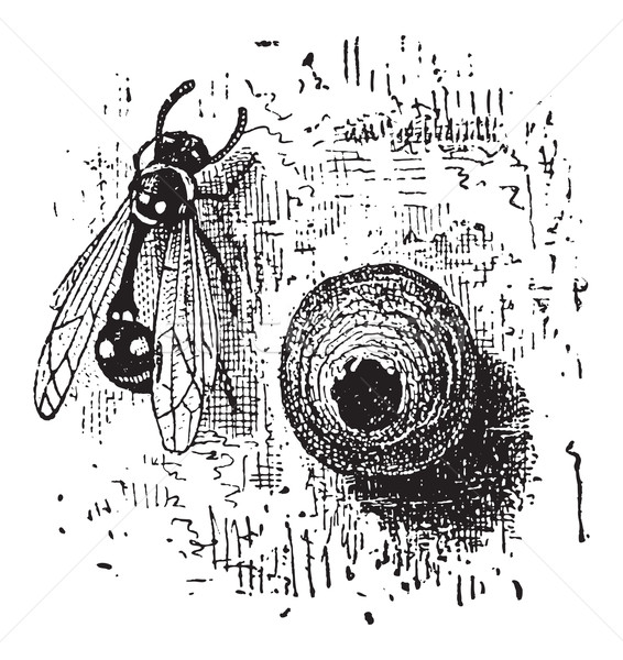 Nest of the Potter Wasp or Eumenes sp., vintage engraving Stock photo © Morphart